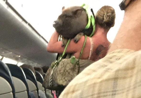 חזיר בטיסה